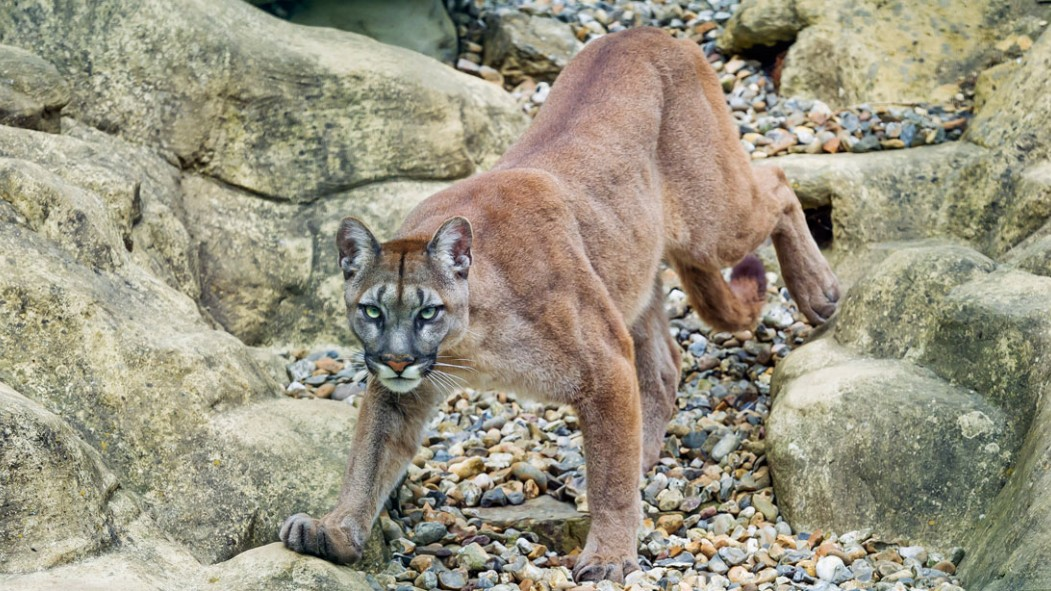 Colorado Runner Attacked by Mountain Lion, Strangles Lion to Death in Self-Defense thumbnail