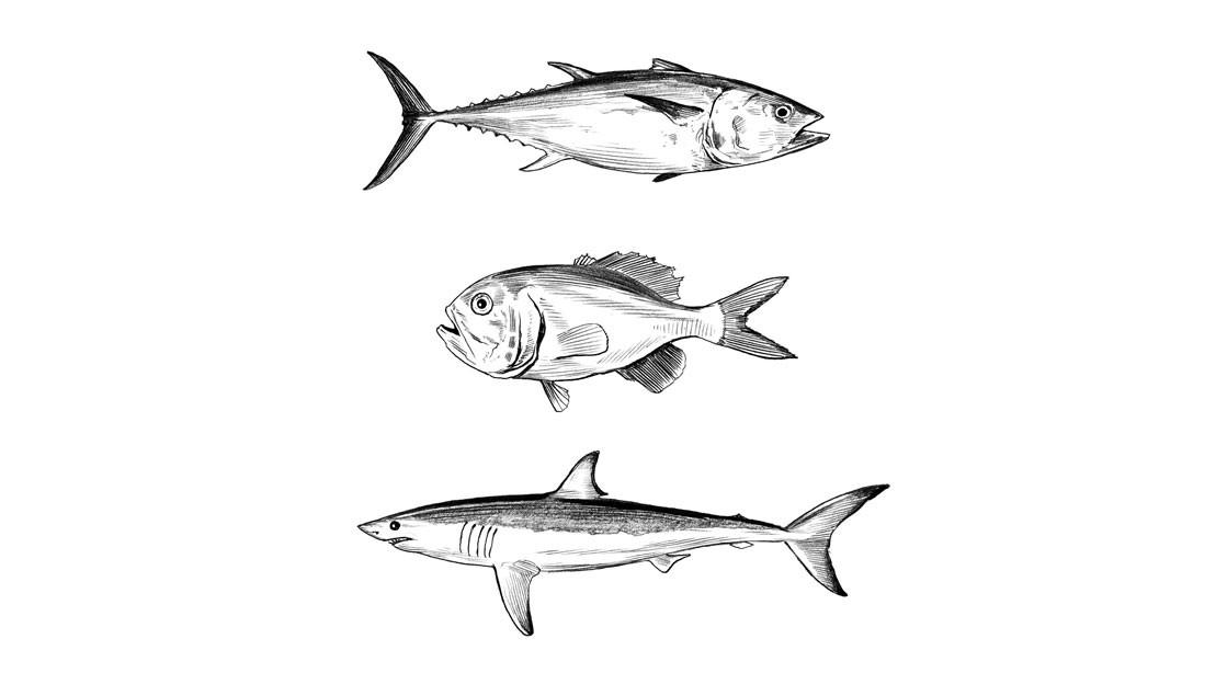 Bluefin Tuna, Orange Roughy & Shark Illustrations