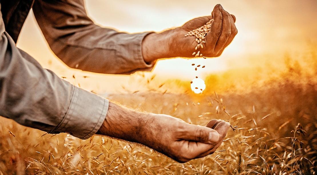 Wheat Germ Field Farmer Hands