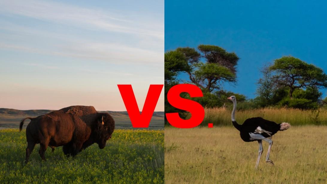 Bison vs. Ostrich