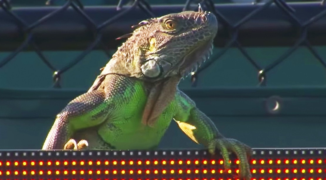 Iguana Invades Tennis Court And Runs Across It At 2017 Miami Open, Delaying The Match.