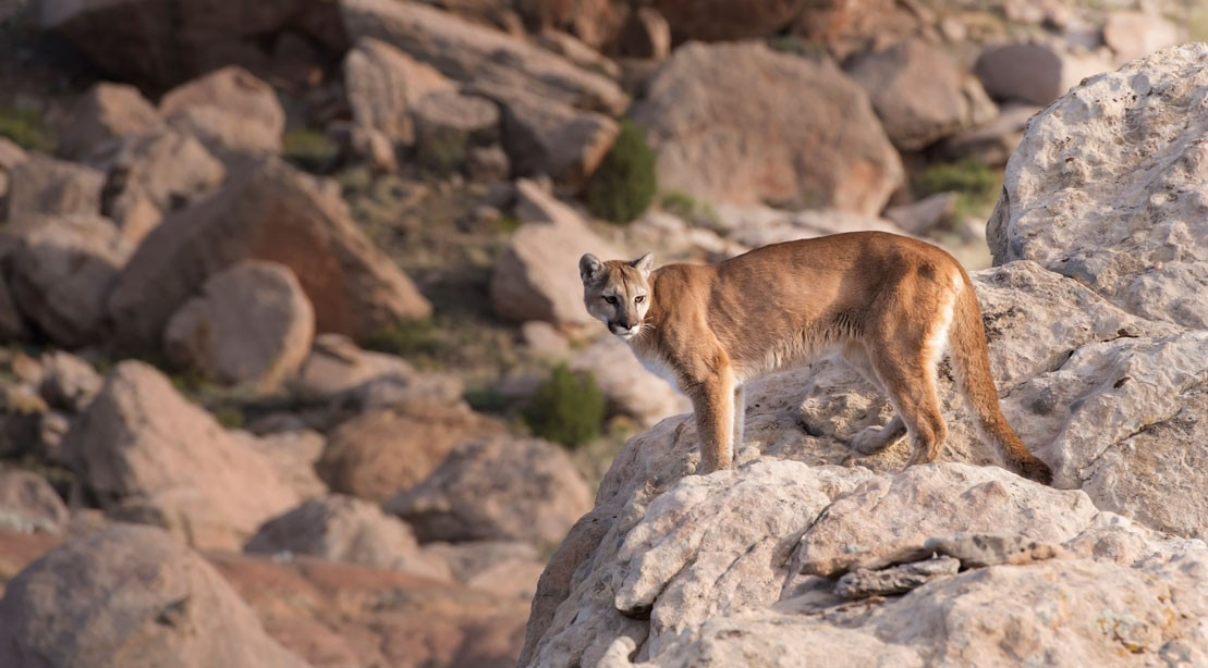 Colorado Runner Attacked by Mountain Lion, Strangles Lion to Death in Self-Defense