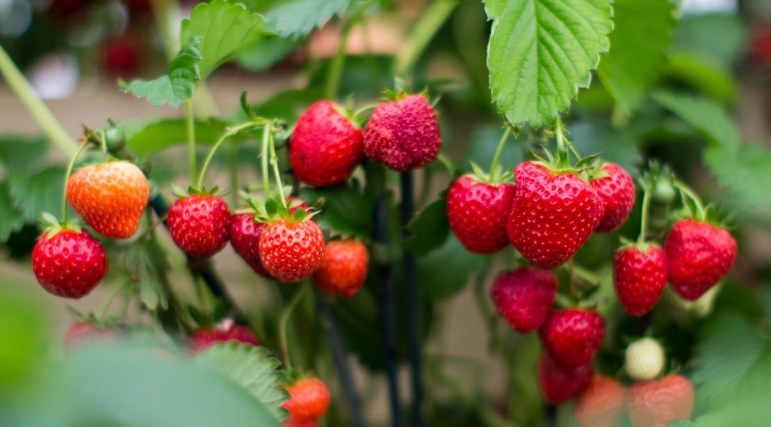 strawberries strawberry 1109