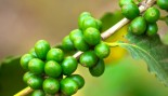 Green Coffee Beans for Fat Loss thumbnail