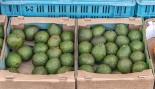Avocad-oh-no! Six States Recall Avocados Over Listeria Hysteria thumbnail