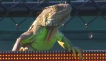 Iguana Invades Tennis Court And Runs Across It At 2017 Miami Open, Delaying The Match. thumbnail
