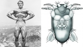 Arnold Schwarzenegger side-by-side with insect illustration thumbnail