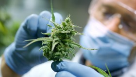 Scientist-Inspecting-Marijuana-Cannibas-Hemp-Trees-Nug thumbnail